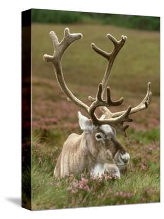 Reindeer, Portrait on Heather, Scotland-Mark Hamblin-Stretched Canvas Print