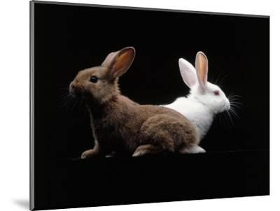 White and Brown Rabbit-Howard Sokol-Mounted Photographic Print