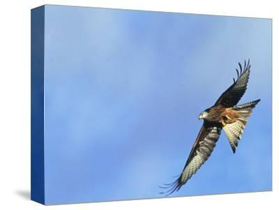 Red Kite, Flying Over Feeding Station, Powys, UK-Richard Packwood-Stretched Canvas Print