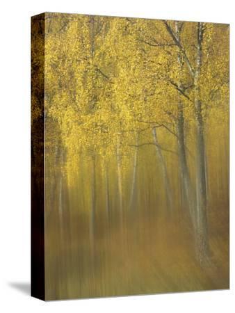 Silver Birch, Impression of Woodland, Scotland-Mark Hamblin-Stretched Canvas Print