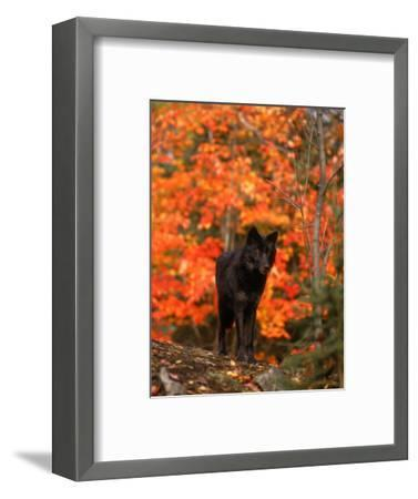Black Timber Wolf in Autumn Forest-Don Grall-Framed Photographic Print