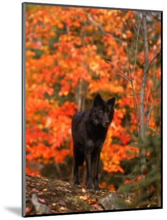 Black Timber Wolf in Autumn Forest-Don Grall-Mounted Photographic Print