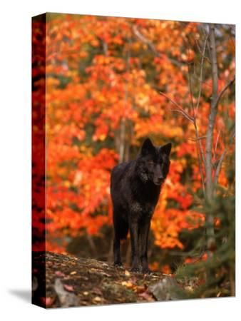 Black Timber Wolf in Autumn Forest-Don Grall-Stretched Canvas Print