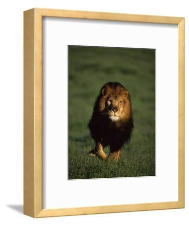 African Lion Walking in Grass-Don Grall-Framed Photographic Print