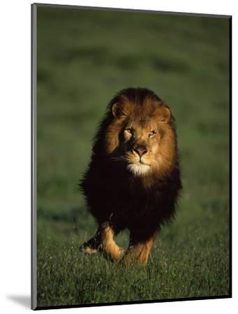 African Lion Walking in Grass-Don Grall-Mounted Photographic Print