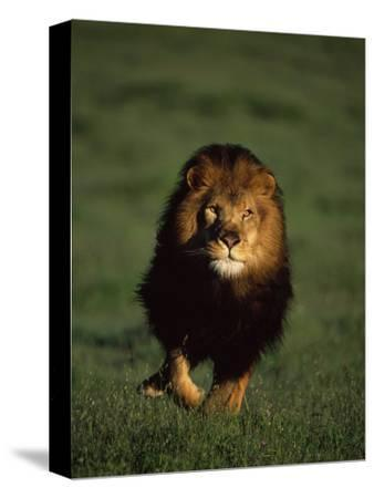 African Lion Walking in Grass-Don Grall-Stretched Canvas Print