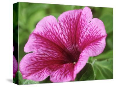 Petunia Strawberry Frost (Conchita Series)-Chris Burrows-Stretched Canvas Print