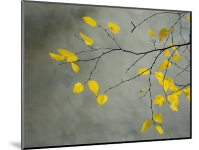 Yellow Autumnal Birch (Betula) Tree Limbs Against Gray Stucco Wall-Daniel Root-Mounted Premium Photographic Print