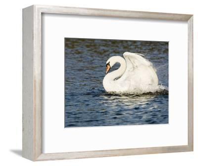 Mute Swan, Splashing During Bathing, UK-Mike Powles-Framed Premium Photographic Print