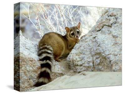 Ringtail Cat, USA-Wendy Shattil & Bob Rozinski-Stretched Canvas Print