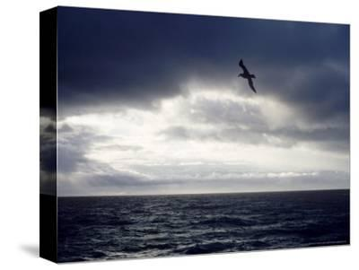 Southern Giant Petrel at Sea, Argentina-Mary Plage-Stretched Canvas Print