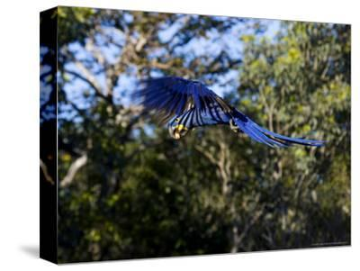 Hyacinth Macaw, Parrot in Flight, Brazil-Roy Toft-Stretched Canvas Print