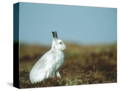 Mountain Hare or Blue Hare, Conspicuous with No Snow, Scotland, UK-Richard Packwood-Stretched Canvas Print