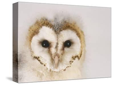 Barn Owl, Portrait of Face-Les Stocker-Stretched Canvas Print