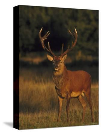 Red Deer, Stag, UK-Mark Hamblin-Stretched Canvas Print