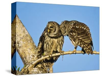 Barred Owl, Pair Bonding, Florida, USA-Stan Osolinski-Stretched Canvas Print