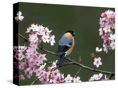 Bullfinch, Pyrrhula Pyrrhula, Male, Feeding on Cherry Blossom, UK-Mark Hamblin-Stretched Canvas Print