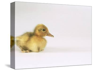 Domestic Duck, Duckling-Les Stocker-Stretched Canvas Print