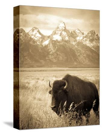 Bison in Grand Teton National Park Wyoming-Justin Bailie-Stretched Canvas Print
