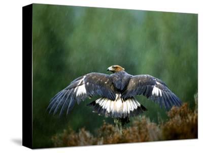 Golden Eagle, Male Perched, Highlands, Scotland-Mark Hamblin-Stretched Canvas Print