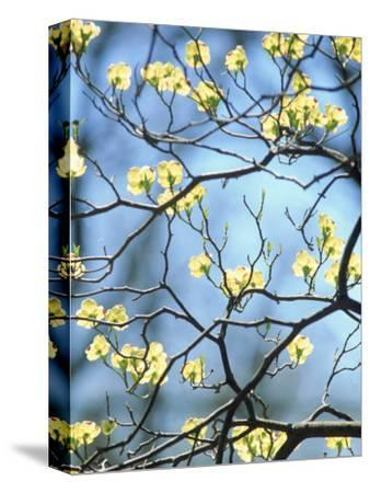 Branches of Spring Flowering Tree-Steven Emery-Stretched Canvas Print