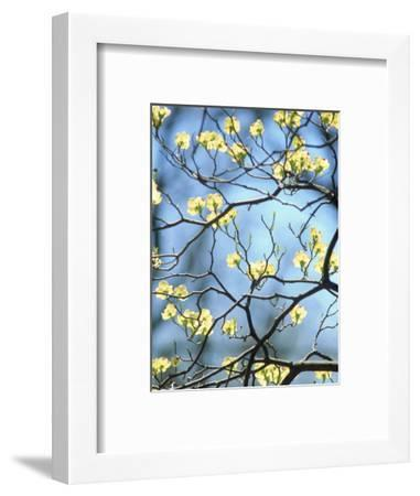 Branches of Spring Flowering Tree-Steven Emery-Framed Photographic Print