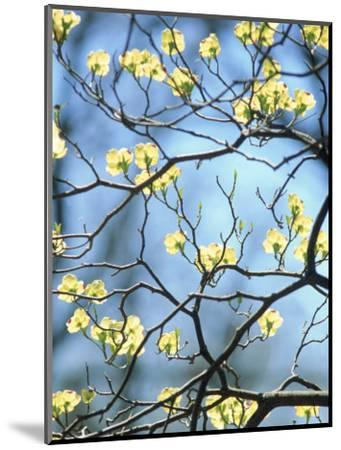 Branches of Spring Flowering Tree-Steven Emery-Mounted Photographic Print