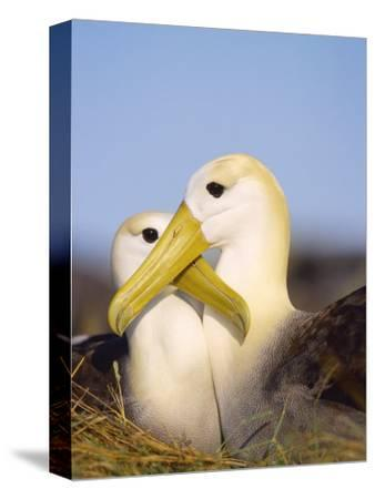 Waved Albatross, Pair Bonding, Espanola Island, Galapagos-Mark Jones-Stretched Canvas Print