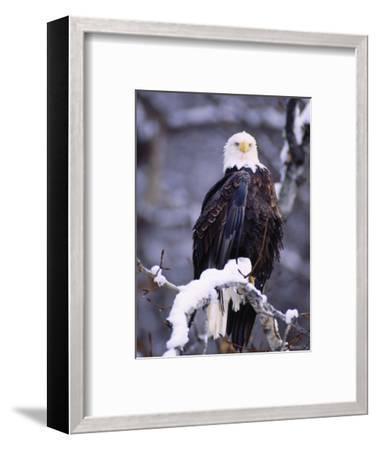 Bald Eagle, Chilkat River, AK-Elizabeth DeLaney-Framed Photographic Print