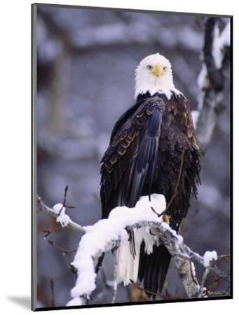 Bald Eagle, Chilkat River, AK-Elizabeth DeLaney-Mounted Photographic Print
