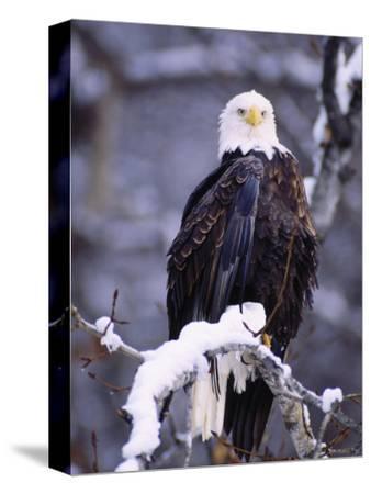 Bald Eagle, Chilkat River, AK-Elizabeth DeLaney-Stretched Canvas Print