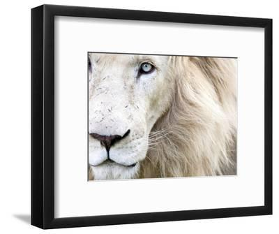 Full Frame Close Up Portrait of a Male White Lion with Blue Eyes.  South Africa.-Karine Aigner-Framed Premium Photographic Print