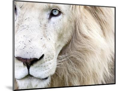 Full Frame Close Up Portrait of a Male White Lion with Blue Eyes.  South Africa.-Karine Aigner-Mounted Premium Photographic Print