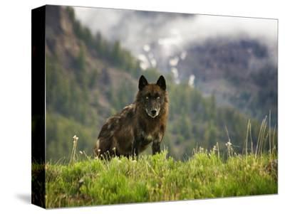 Canyon Pack Alpha Female Wolf of 2009-Mike Cavaroc-Stretched Canvas Print