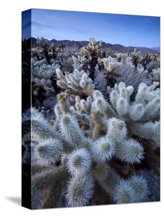 Teddy Bear Cactus or Jumping Cholla in Joshua Tree National Park, California-Ian Shive-Stretched Canvas Print