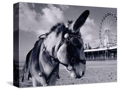 Donkey at Shorefront, Blackpool, England-Walter Bibikow-Stretched Canvas Print