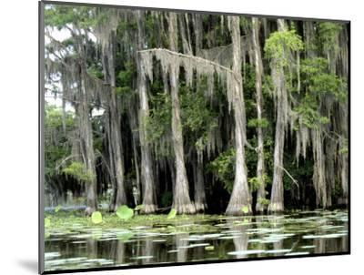 Moss Covered Bald Cypress Trees, Caddo Lake, TX-Ray Hendley-Mounted Photographic Print