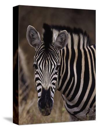 Burchell's Zebra, Equus Burchelli-D^ Robert Franz-Stretched Canvas Print