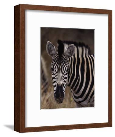 Burchell's Zebra, Equus Burchelli-D^ Robert Franz-Framed Photographic Print