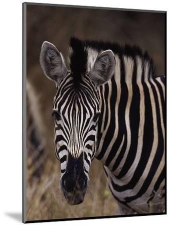Burchell's Zebra, Equus Burchelli-D^ Robert Franz-Mounted Photographic Print