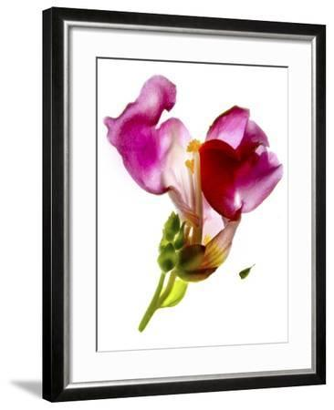 Snapdragon Pink-Julia McLemore-Framed Photographic Print