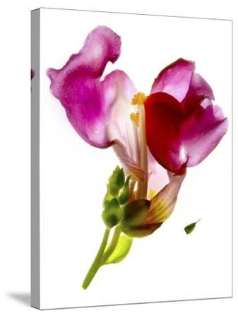 Snapdragon Pink-Julia McLemore-Stretched Canvas Print