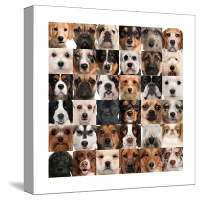 Collage Of 36 Dog Heads-Life on White-Stretched Canvas Print