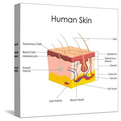 Human Skin Anatomy-stockshoppe-Stretched Canvas Print