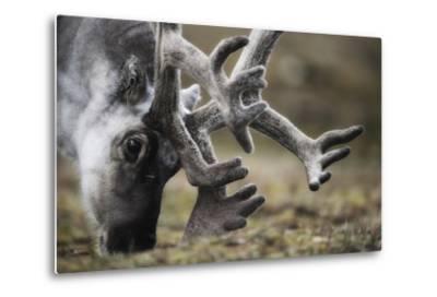 Svalbard Reindeer Antlers In Velvet-Ole Jorgen Liodden-Metal Print