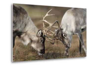 Reindeer Fighting-Laurie Campbell-Metal Print