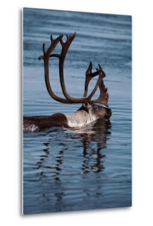 Caribou Migration-Staffan Widstrand-Metal Print