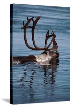 Caribou Migration-Staffan Widstrand-Stretched Canvas Print