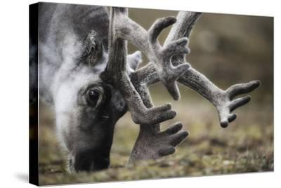 Svalbard Reindeer Antlers In Velvet-Ole Jorgen Liodden-Stretched Canvas Print