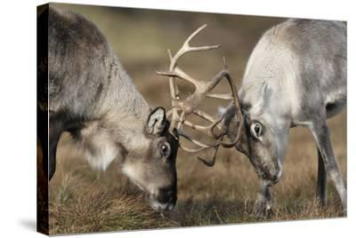 Reindeer Fighting-Laurie Campbell-Stretched Canvas Print